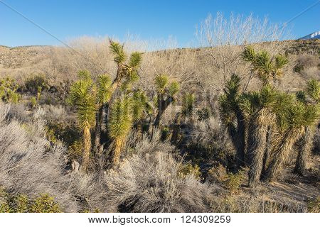 Clump of Joshua trees in a canyon of southern California.