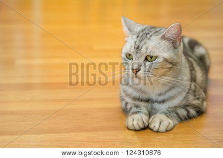 Little american shorthair cat on the floor