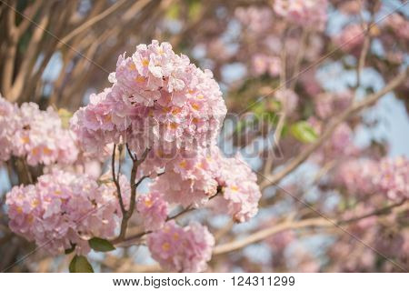Tabebuia rosea is a Pink Flower neotropical tree. common name Pink trumpet tree, Pink poui, Pink tecoma, Rosy trumpet tree, Basant rani