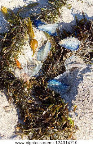 White Sails of Velella velella stranded on ocean beach along with Brown Kelp seaweed
