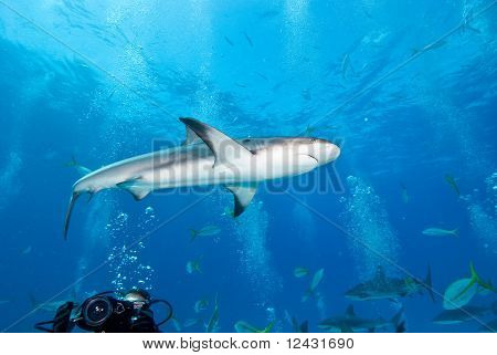 Reef Shark at Nassau Bahamas