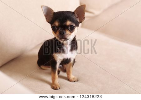 Small chihuahua puppy on the beige sofa