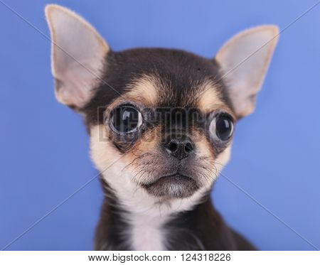 Small chihuahua puppy on the blue background