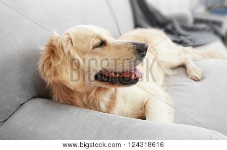 Golden retriever lying on a sofa at home