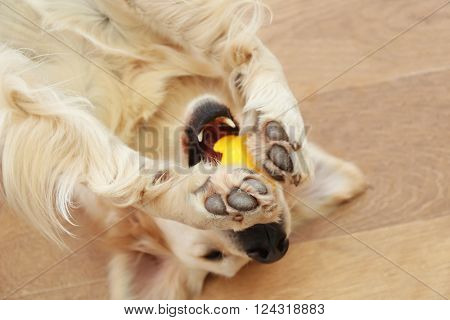 Golden retriever playing with toy on the floor at home