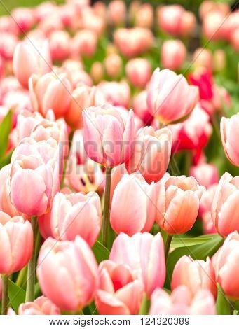 Pink Tulips On Beautiful Flowerbed In Spring
