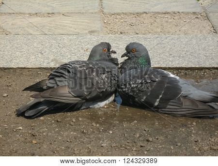 Two Loving Doves In A Gentle Hug