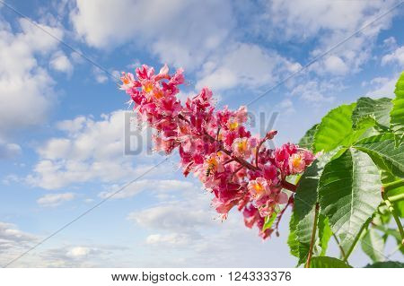 Panicle with flowers of red horse-chestnut against the sky with clouds