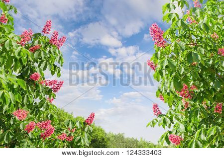 Branches of blooming red horse-chestnuts with flowers against the sky with clouds