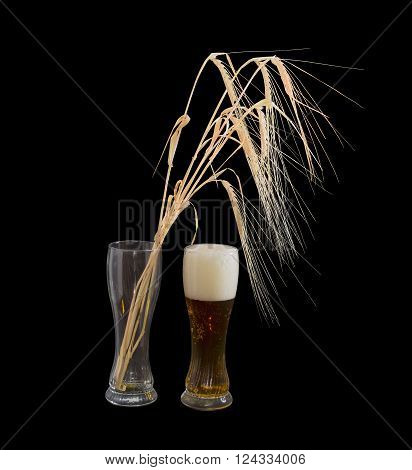 One beer glasses with lager beer and several barley spikes in empty glass on a black background