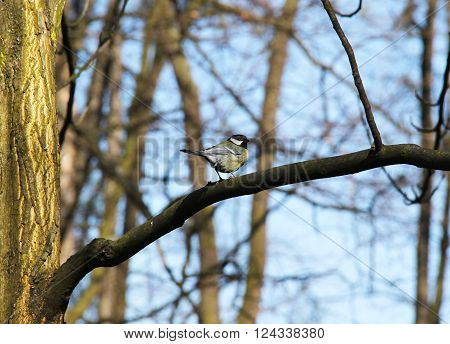 great tit sitting on the branch of a tree