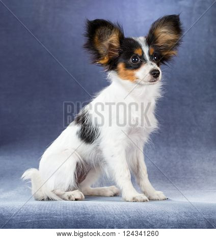 Funny puppy Papillon sitting on a blue background