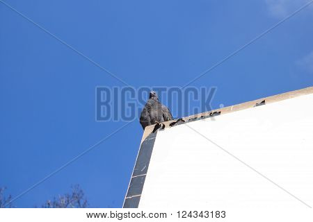 pigeon sitting on a billboard against the sky blue ** Note: Visible grain at 100%, best at smaller sizes