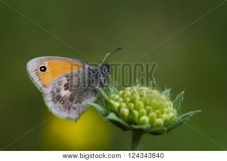 a small heath butterfly pollinating a flower