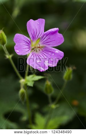 a pink specimen of the woodland geranium
