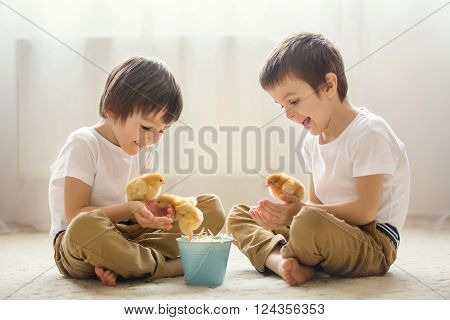 Two sweet little children, preschool boys, brothers, playing with little chicks at home, baby chicks in child hands