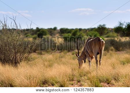 African wildlife. Great kudu male in the Kalahari desert at sunset time; Specie Kobus ellipsiprymnus family of bovidae