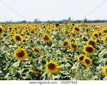 Sunflower -- the popular name of plants of the family Asteraceae