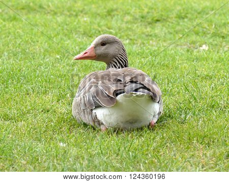 Greylag goose sitting in grass looking back in camera ** Note: Soft Focus at 100%, best at smaller sizes