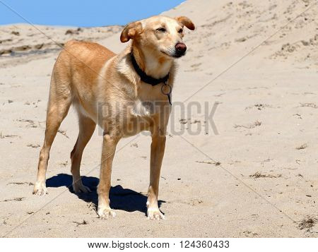 Podenco crossbreed with collar, light nose, short tail on beach