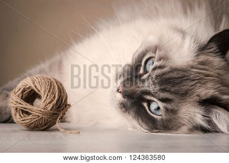 Siberian cat with clew background, relaxation horizontal