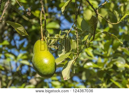 avocado tree in ict in Sri Lanka ** Note: Visible grain at 100%, best at smaller sizes