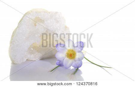 Beautiful crocus flower and clear quartz geode