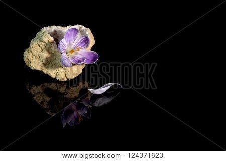 Beautiful crocus flower in quartz geode over black background