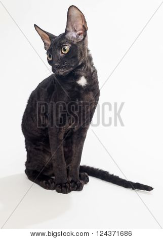 Black cat Cornish Rex on a white background not isolated