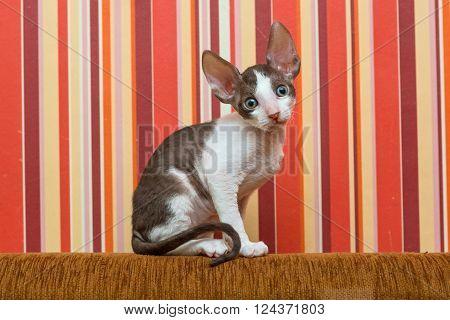 Little kitten Cornish Rex sit on the back of the sofa