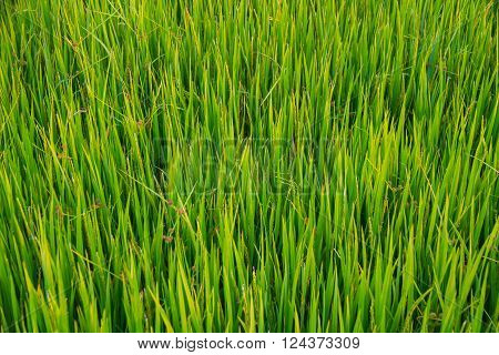 Close up of green paddy rice. Green ear of rice in paddy rice field under sunrise Paddy rice field in the morning background