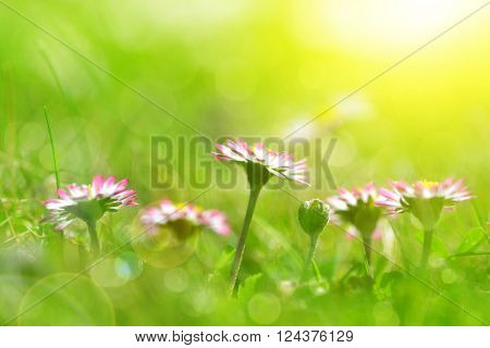 Daisy flowers in grass. Soft focus. Natural background.