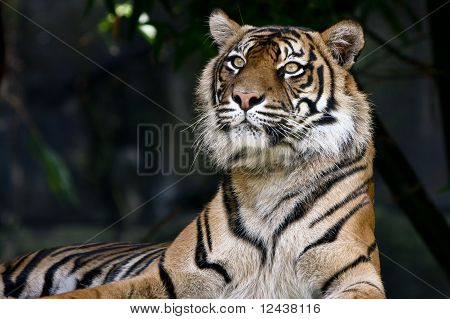Proud Sumatran tiger