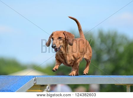LAKE ELMO, MN - JUNE 8 2016: Dachshund Running on a Dog Walk at an Agility Trial