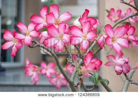 Beautiful pink azalea flowers plant, stock photo