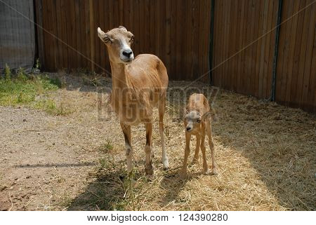 ANKARA/TURKEY-JULY 17, 2014: Female mountain goat and kiddie (Ovis gmelinii anatolica) at the nature reserve area of Emremsultan Nallihan. July 17, 2014-Ankara Turkey