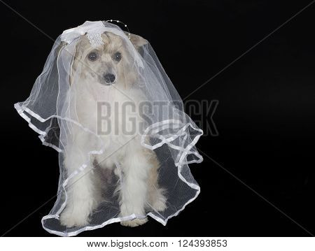 Cute Chinese Crested dog (Powderpuff variety) wearing a bridal veil isolated on black with copy space for your text