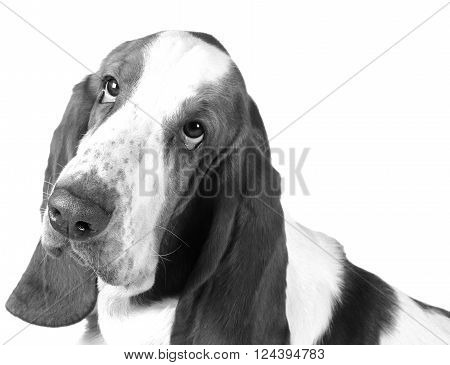 Portrait of a sad Basset Hound (in black and white retro style)