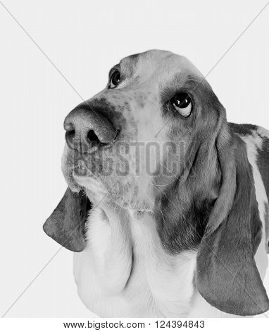 Funny-looking Basset Hound (in black and white retro style selective focus on the eyes)