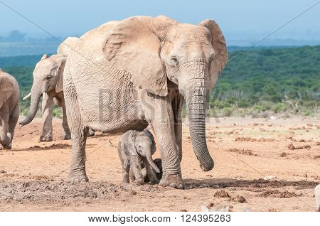 A tiny elephant calf Loxodonta africana walking between its mothers legs