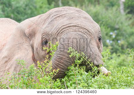 Close-up of an African elephant Loxodonta africana browsing on shrubs in cloudy conditions