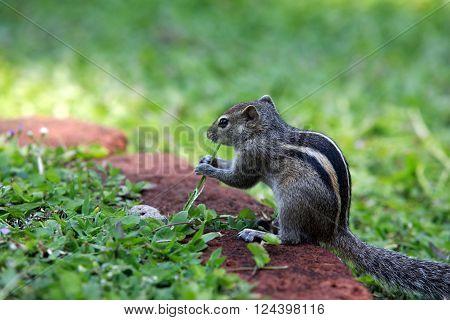 Squirrel eat fruit sitting in grass. Sri lanka