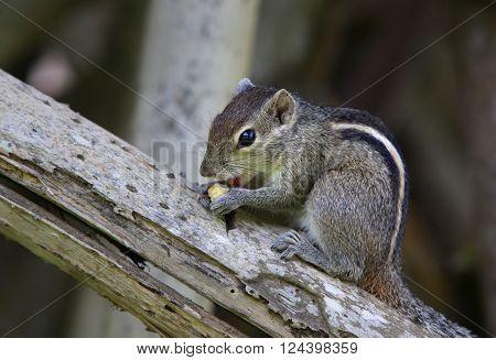 Squirrel eat fruit sitting on a tree. Sri lanka