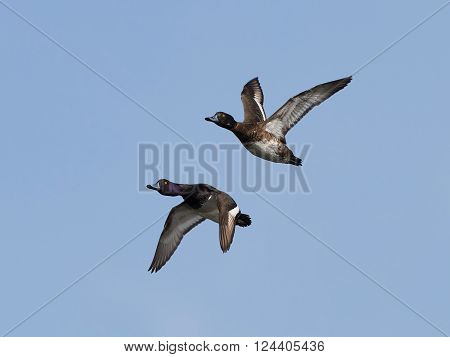 Two Tufted ducks in flight with blue skies in the background