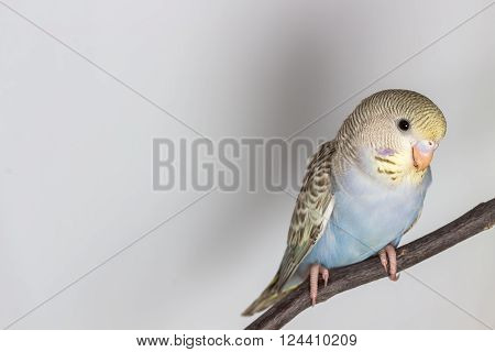 The Little Budgerigar, Pakareet on white background ** Note: Soft Focus at 100%, best at smaller sizes
