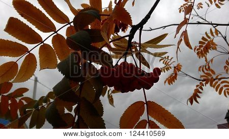 Jpeg look for autumn clouds through the leaves and fruits of mountain ash