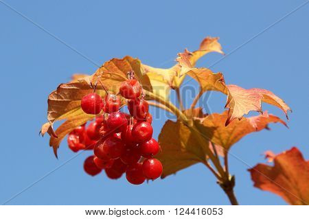 Guelder rose Viburnum opulus fruit plant grow in Poland Europe. Polish name Kalina. Red fresh fruits clusters sag on plant and green lush foliage of shrub plant photo taken in open air horizontal
