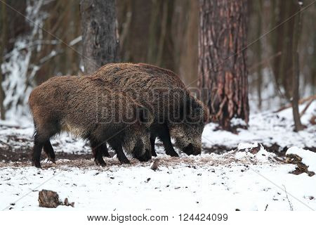 A pair of wild boars in the snow looking for food