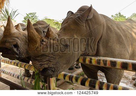 head white rhino munching grass in a zoo