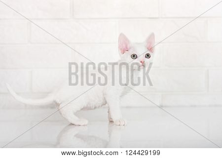 adorable devon rex kitten in the studio